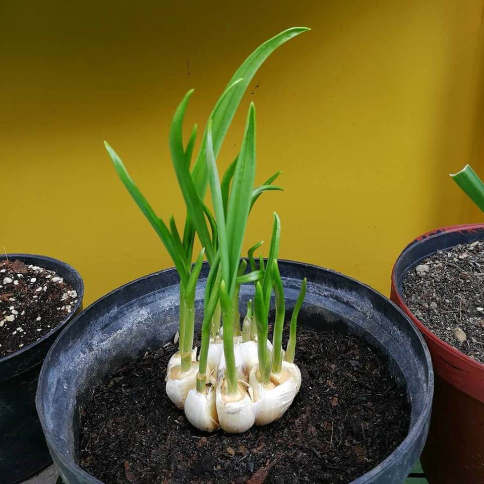 Garlic grow vegetables from kitchen scrap